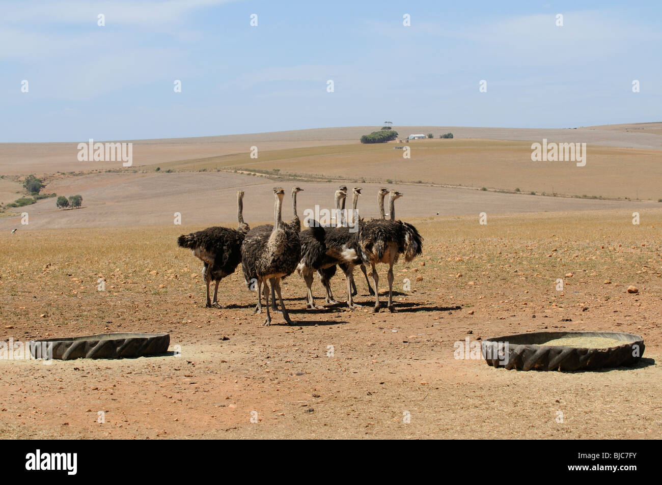Ostrich farm in the western Cape South Africa Ostriches feed from the old  tractor tyre which