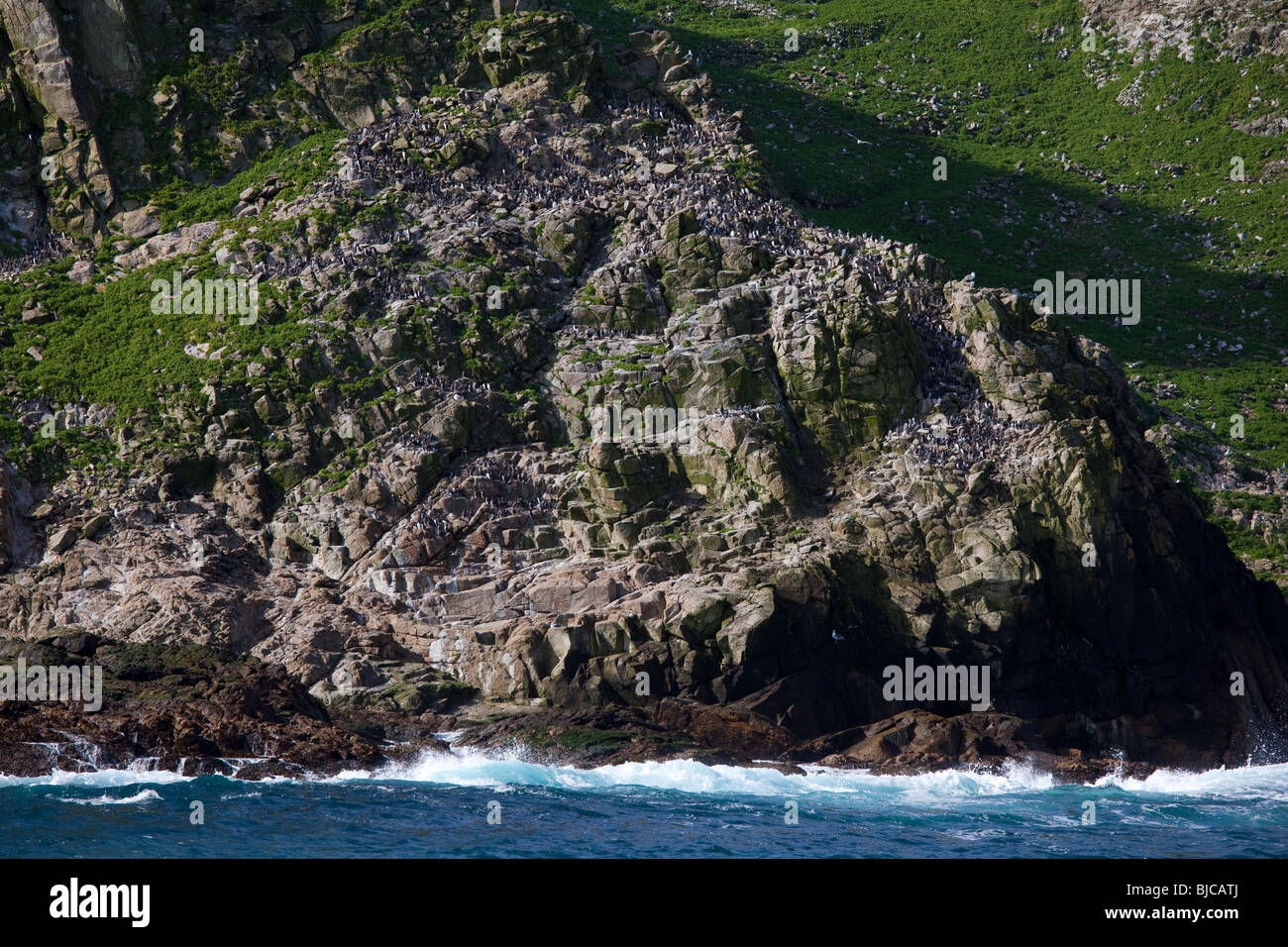 Colony of Common Murres or Common Guillemots (Uria aalge) nesting on the Farallon Islands, Pacific Ocean, California, USA Stock Photo