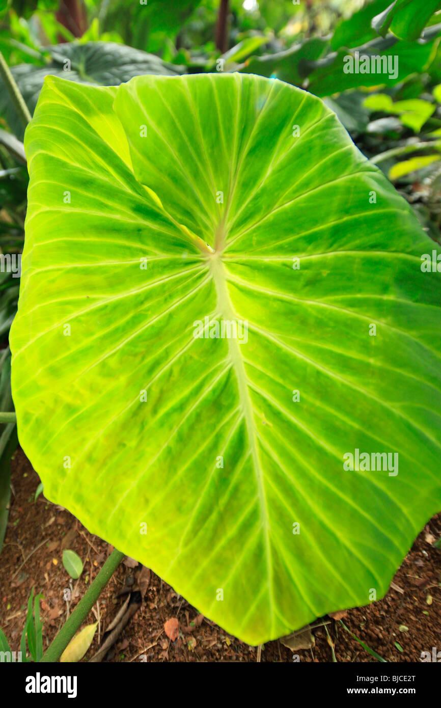 Lyon Arboretum, Manoa Valley, Honolulu, Oahu, Hawaii - Stock Image