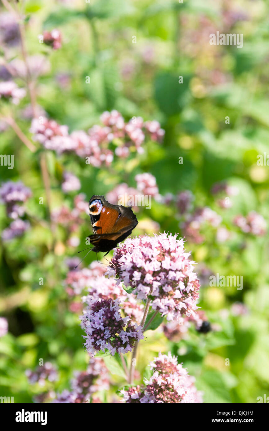 Peacock butterfly (Inachis io) alighting on valerian flower (Valeriana officinalis) - Stock Image