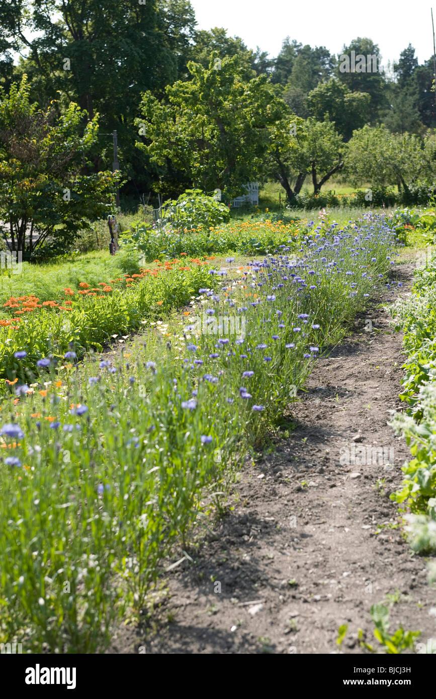 Cornflowers (Centaurea cyanus) growing in garden - Stock Image