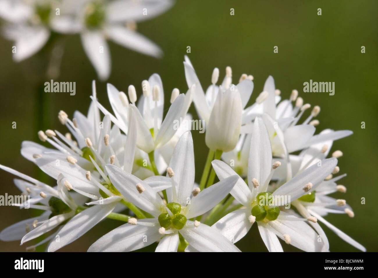 Blooming ramson, Allium ursinum Stock Photo