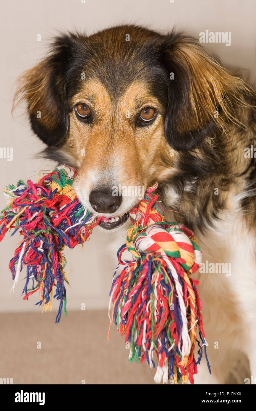 Playful dog with toy - Stock Image