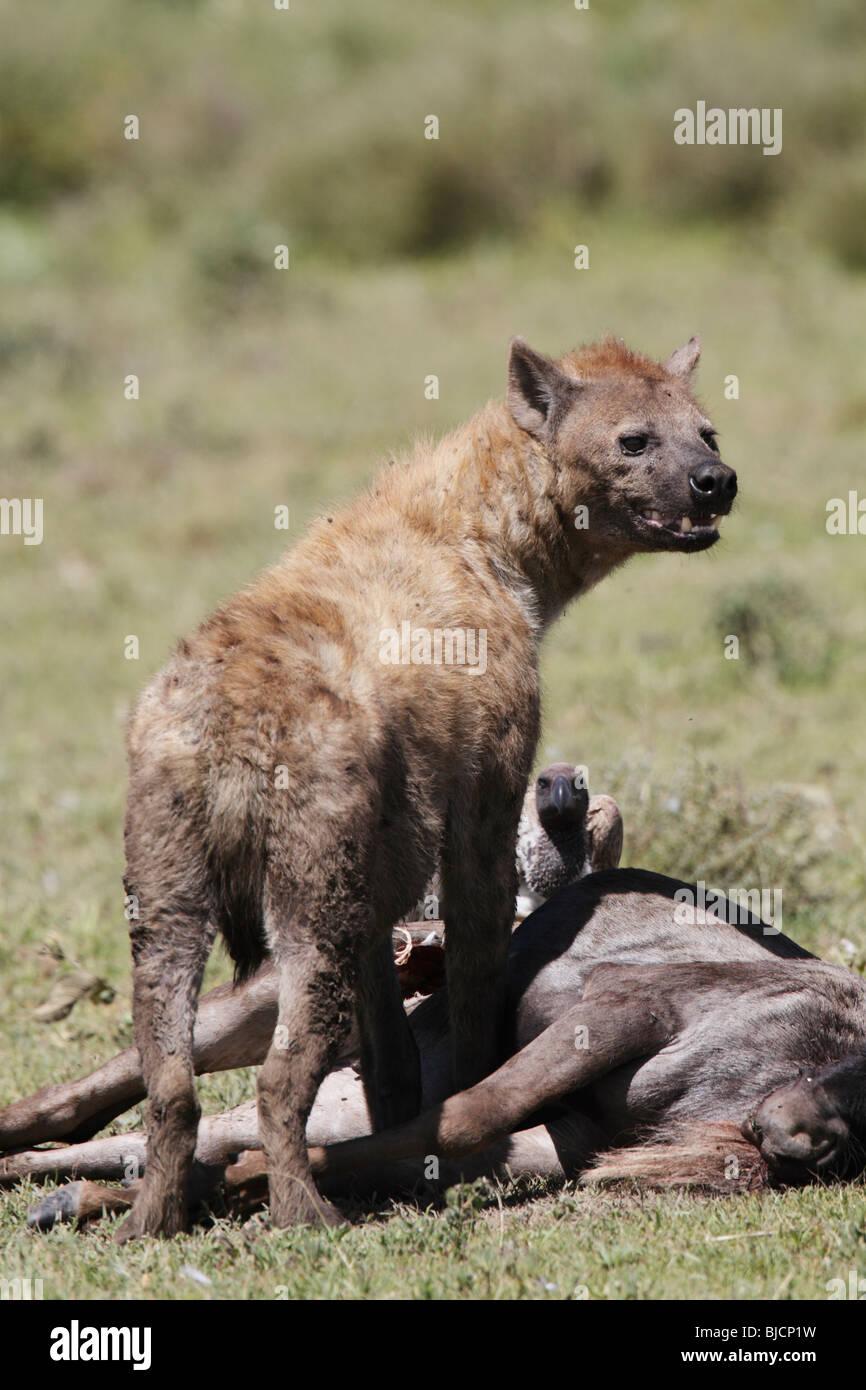 Spotted Hyena, Crocuta crocuta, on wildebeest kill in Tanzania Stock Photo