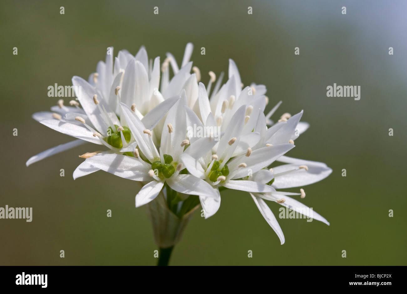 Blooming ramson, Allium ursinum Stock Photo