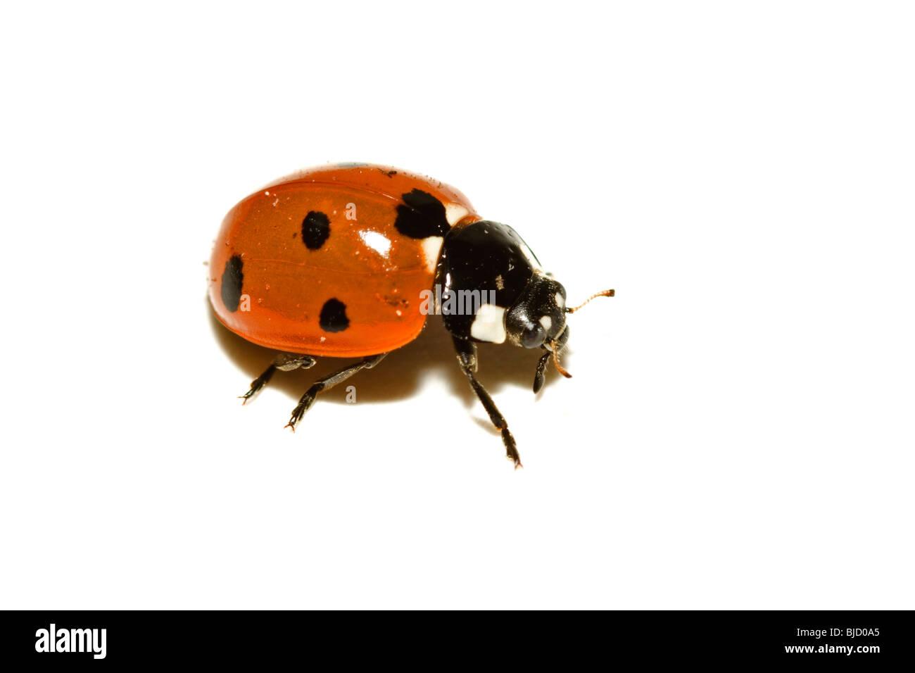 Seven spot ladybird, Coccinella septempunctata - Stock Image