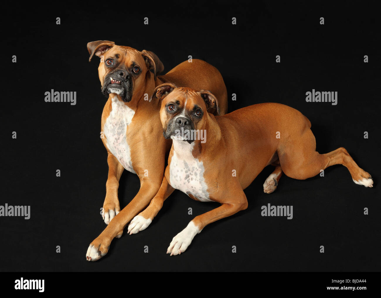 male and female boxer dogs lying on black background - Stock Image