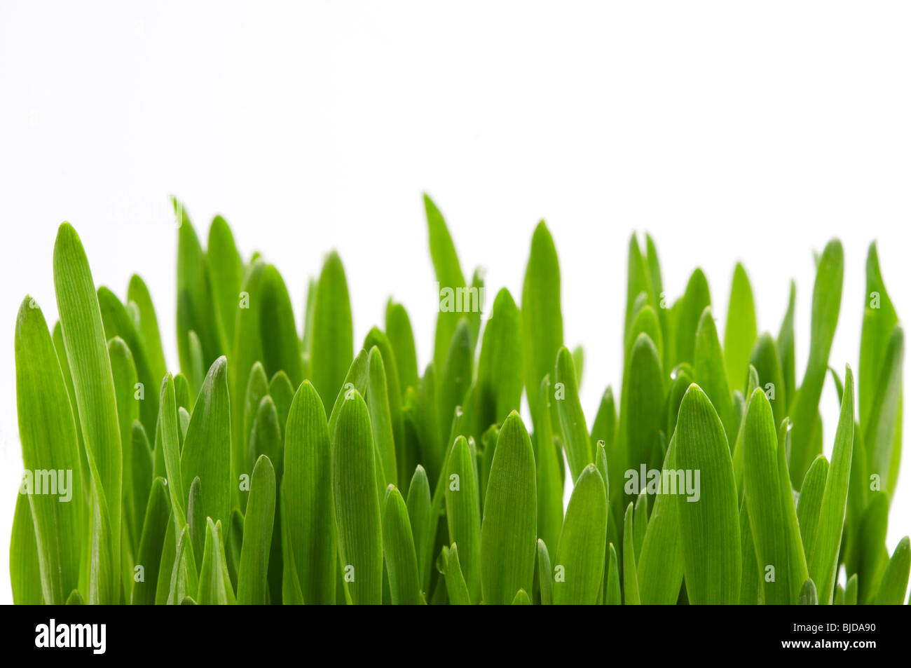 Blades of green grass on a white background - Stock Image