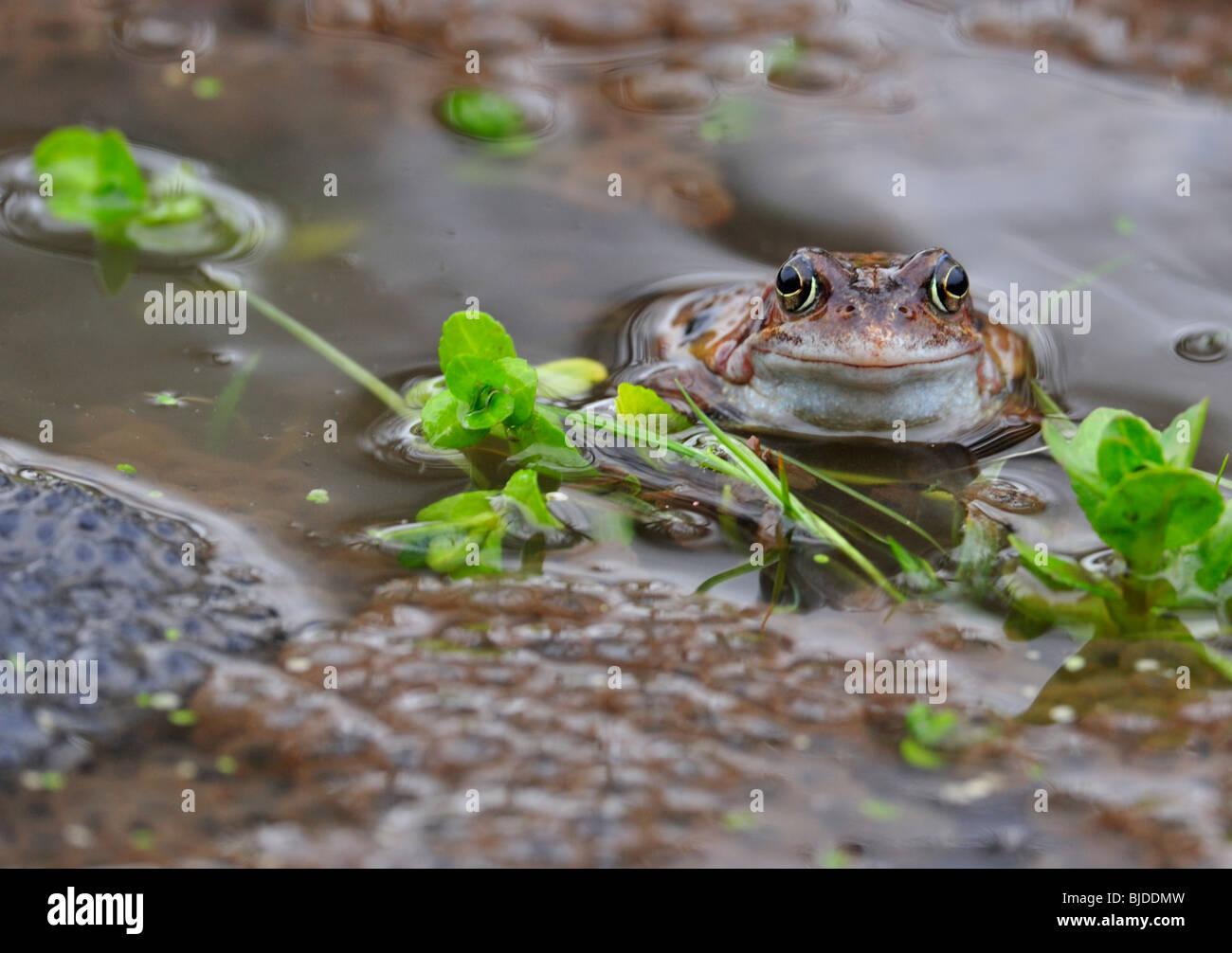 Common Frog. Rana temporaria. Frog spawn. - Stock Image