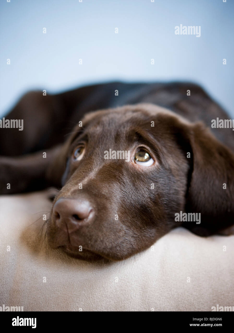 brown puppy - Stock Image