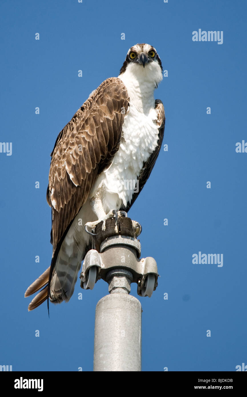 Osprey perched on the top of a flag pole in Dana Point harbour, California - Stock Image
