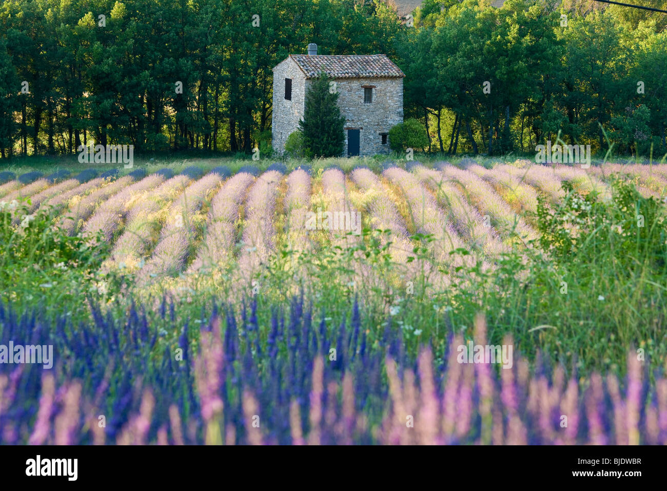 Lavender field, The Luberon, Provence, France - Stock Image