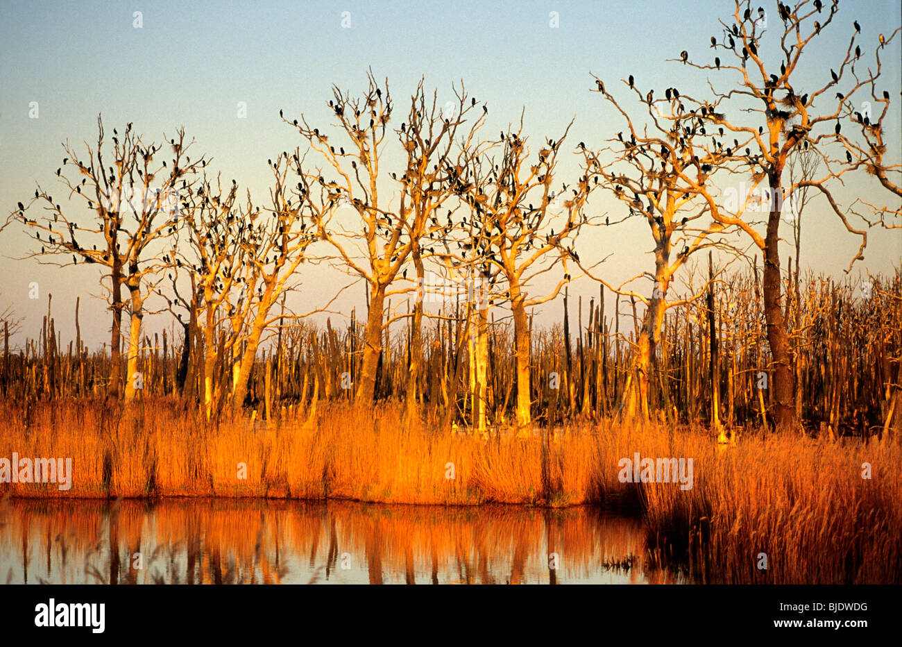 Colony of Great Cormorants in the peat bog nature-sanctuary of Anklam, Germany - Stock Image