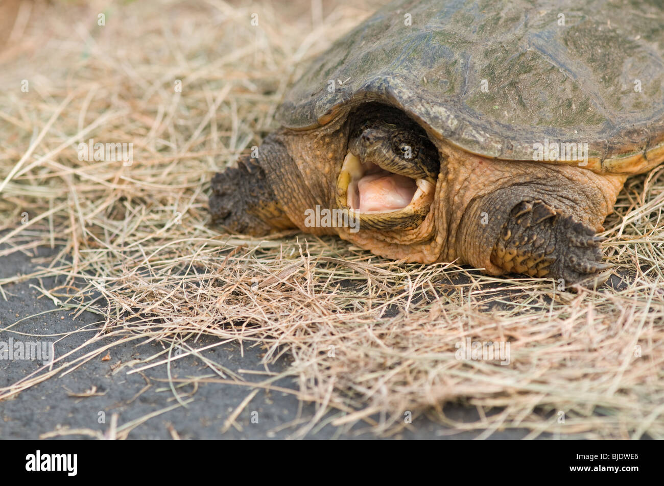 open mouthed snapper on dried grass - Stock Image