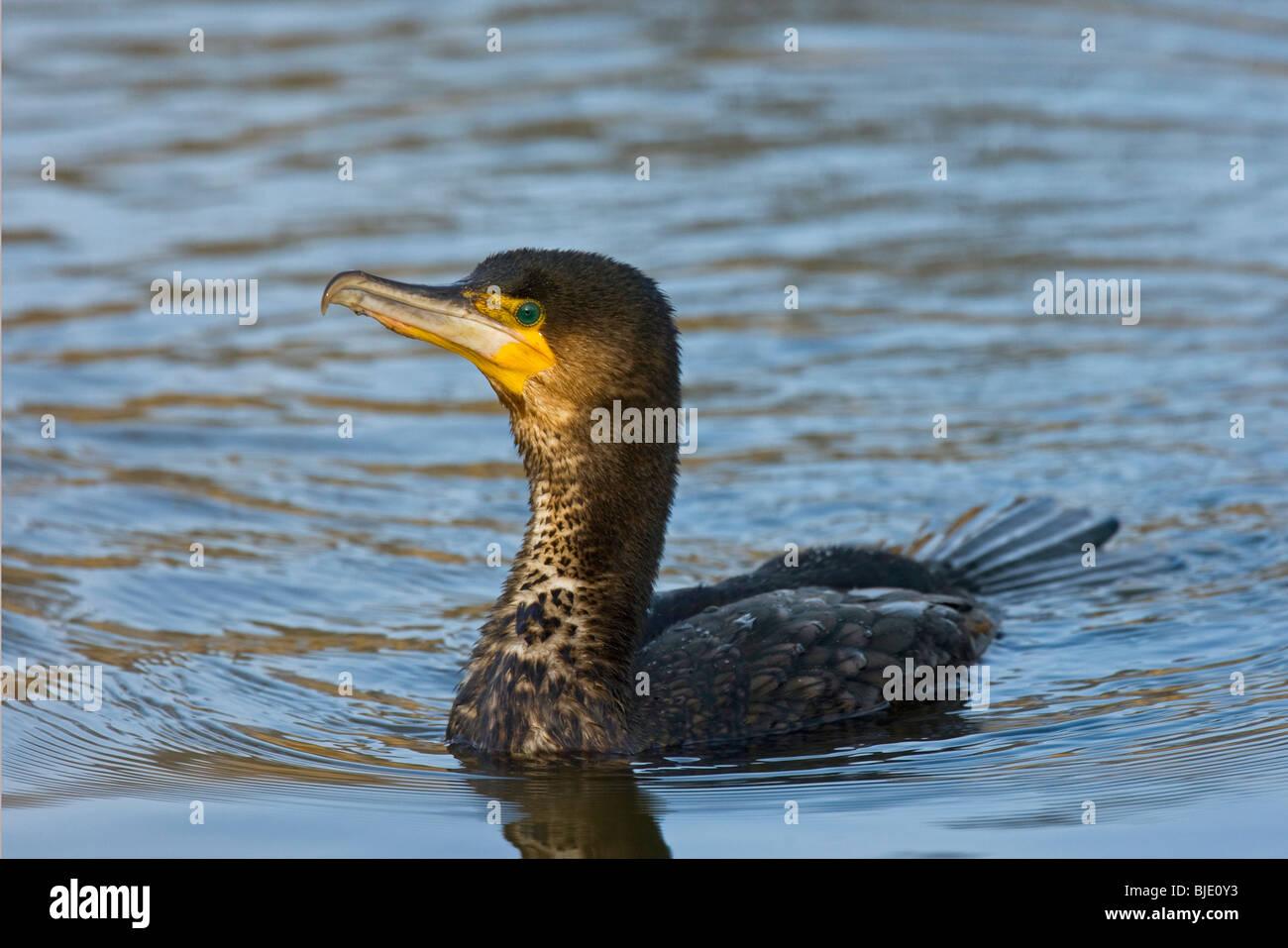 Great cormorant (Phalacrocorax carbo) swimming in lake - Stock Image