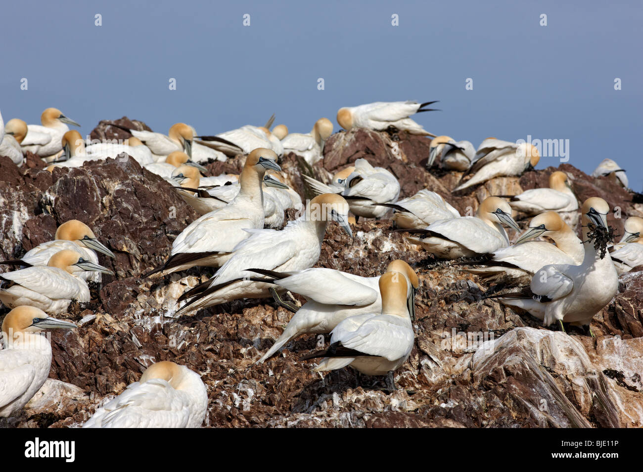 Gannets, Morus bassanus, colony and nests at Bass Rock, Scotland UK - Stock Image