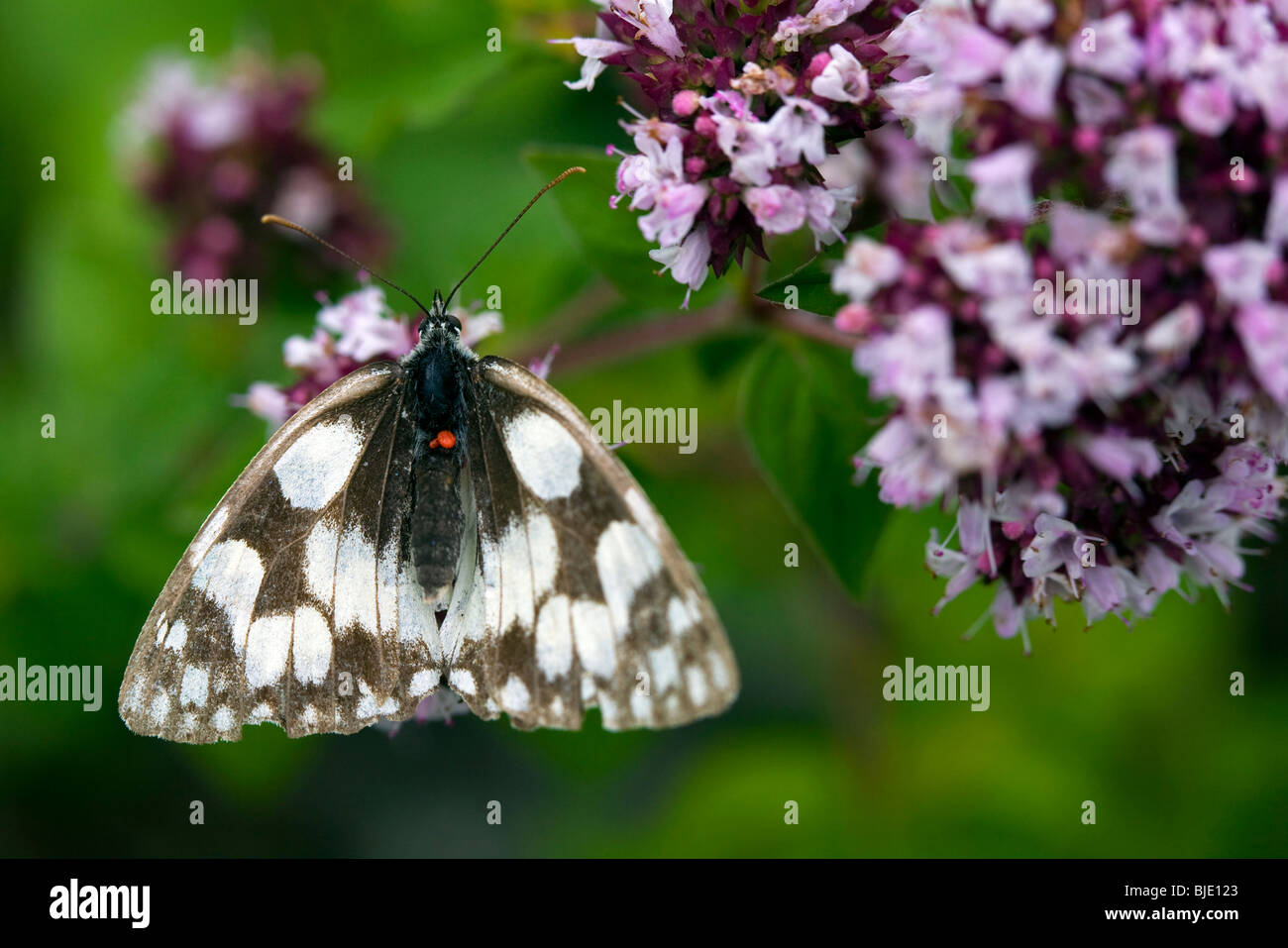 Marbled white (Melanargia galathea) with red parasitic mites on oregano / Wild marjoram (Origanum vulgare) in a - Stock Image
