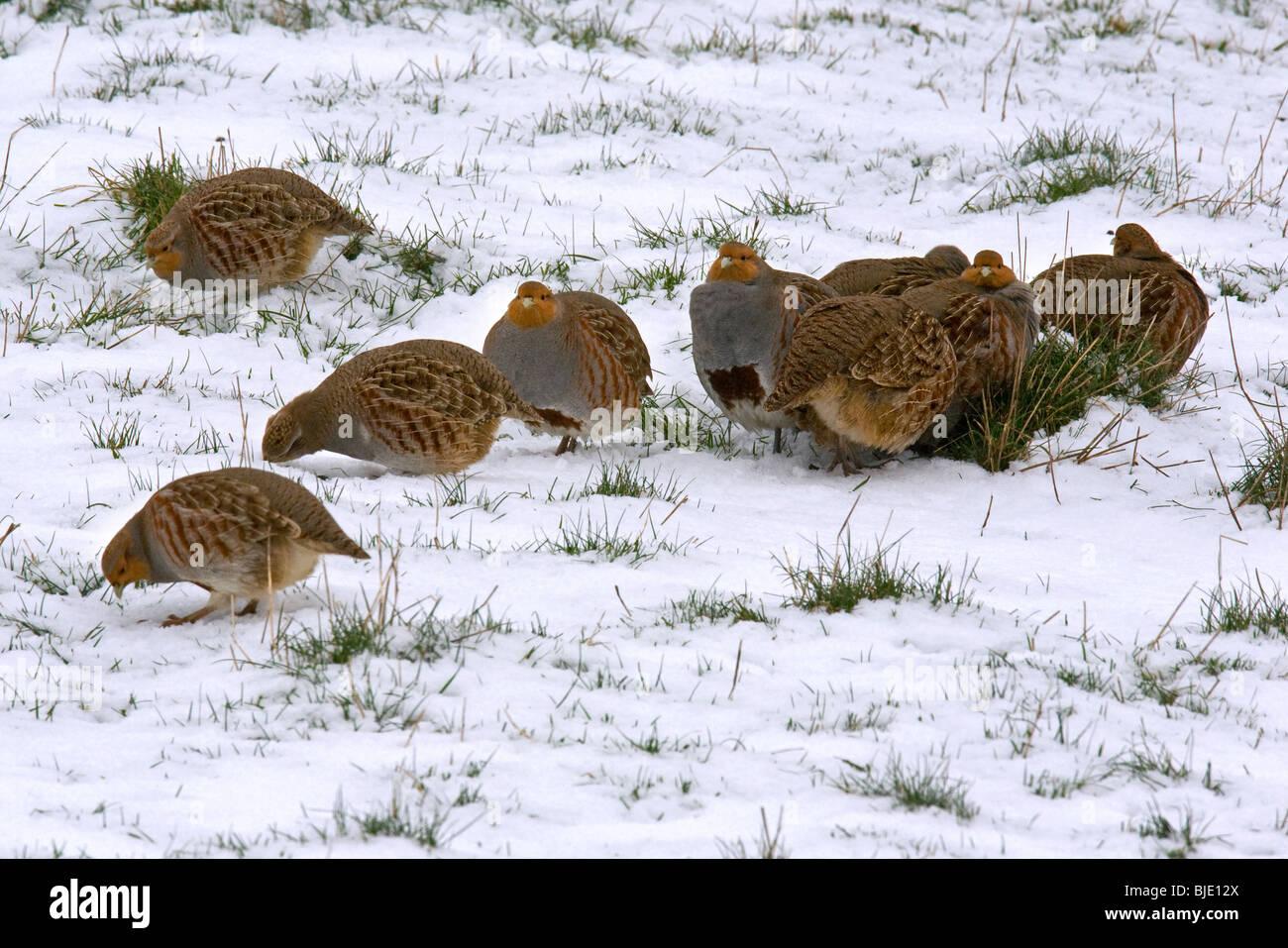 Flock of Grey partridges (Perdix perdix) foraging in the snow in meadow in winter, Zeeland, the Netherlands - Stock Image
