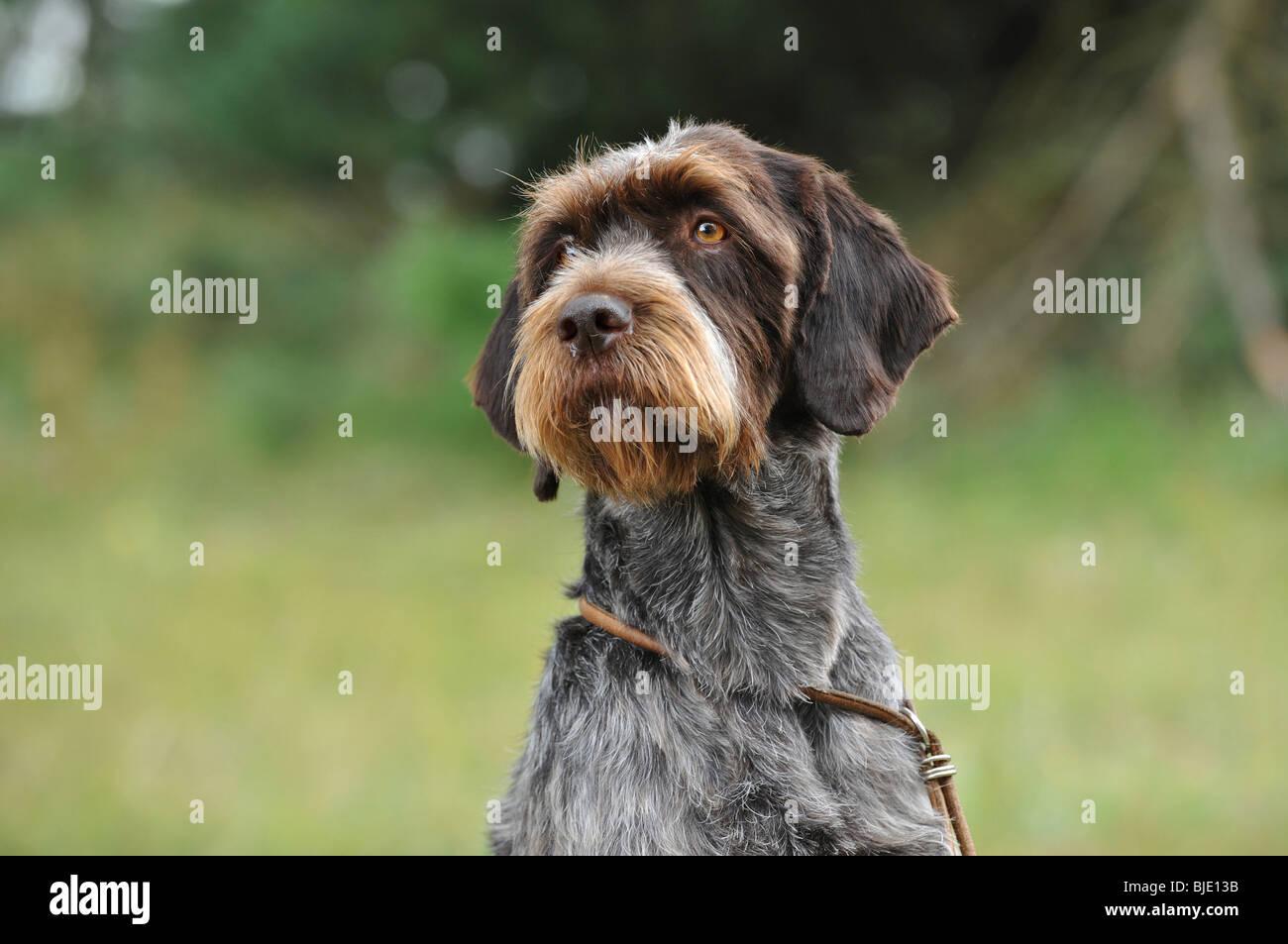 Cesky fousek dog portrait - Stock Image