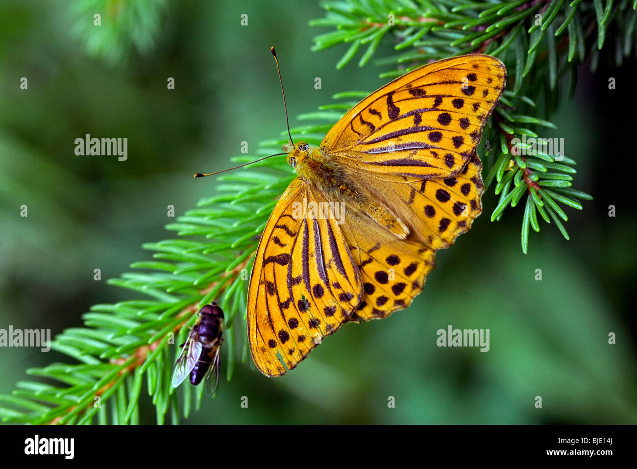 Silver-washed Fritillary (Argynnis paphia) in forest, France, Europe Stock Photo