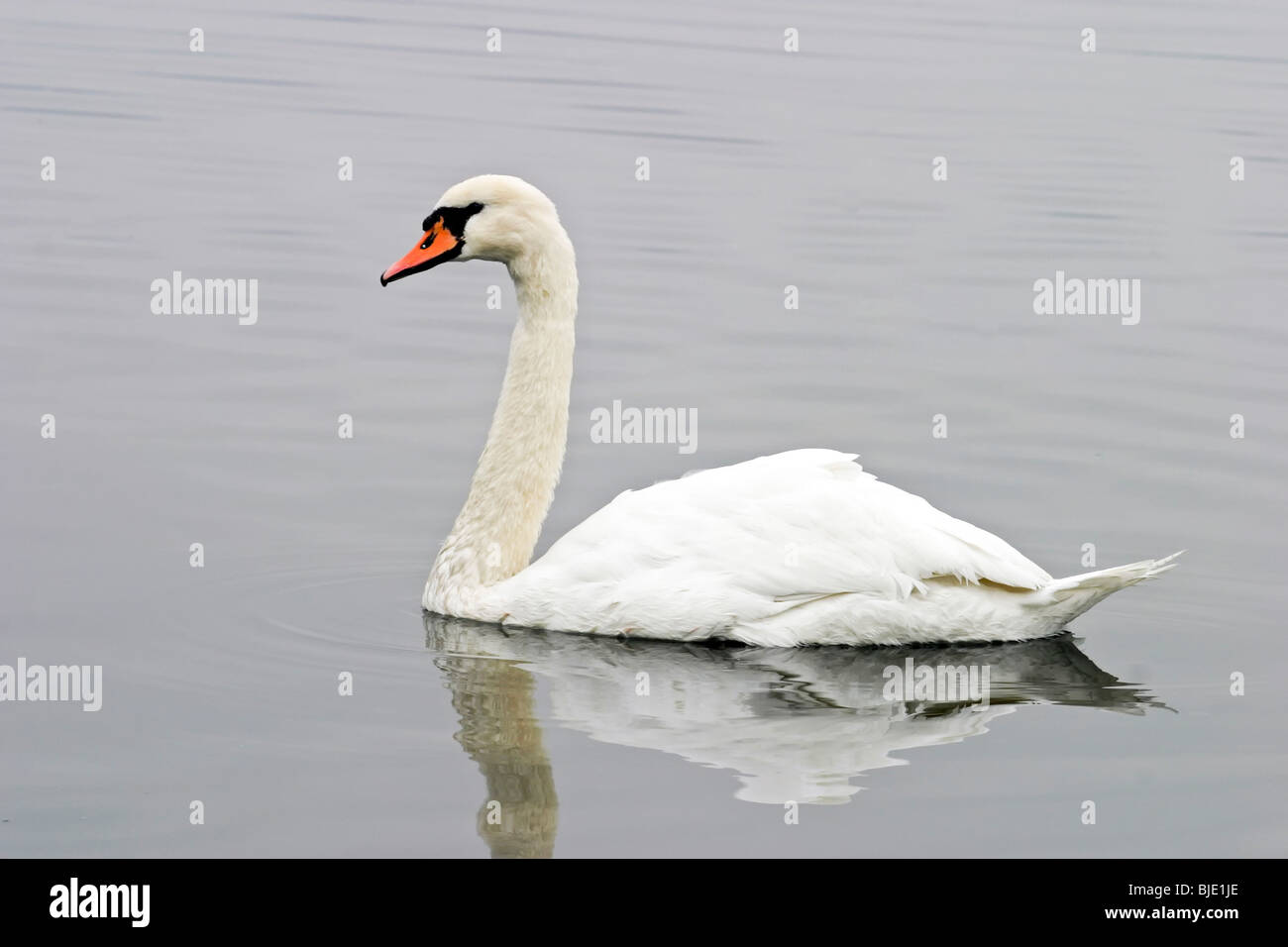 Swan in a lake - Stock Image