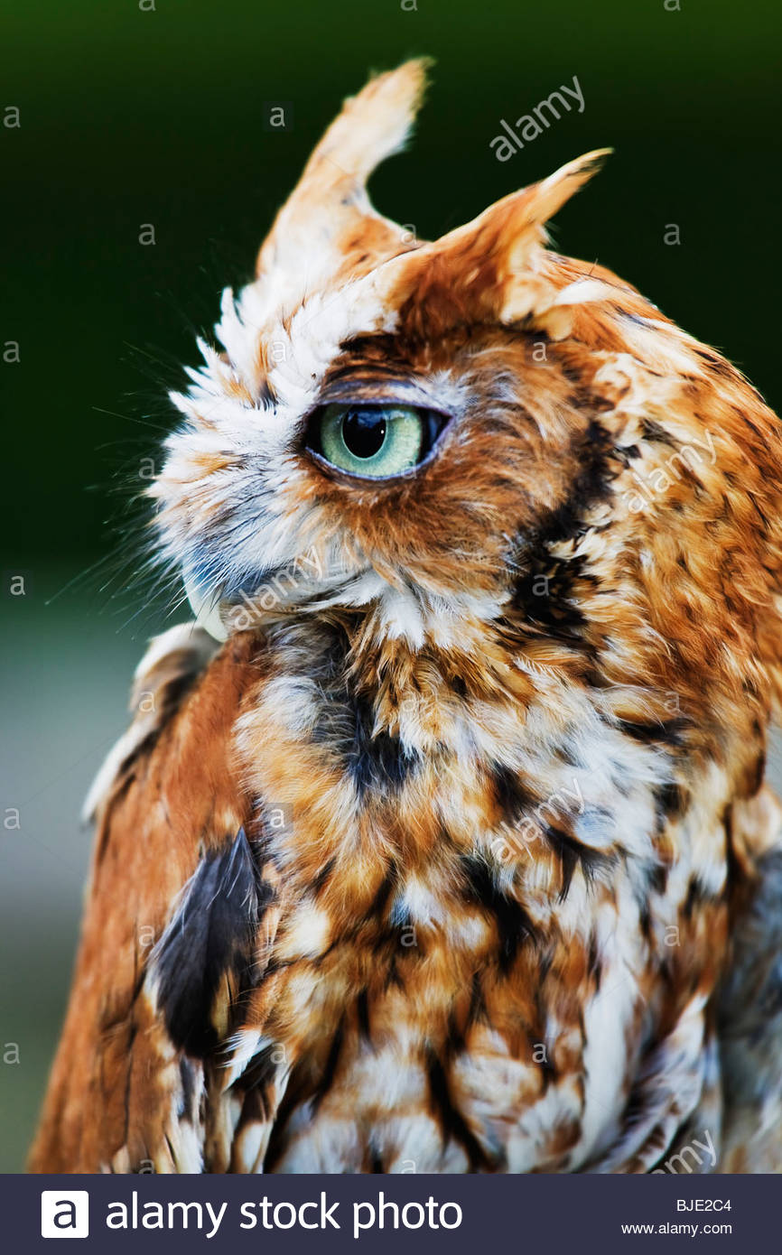 Screech Owl (Otus asio) Red Phase of captive bird - Stock Image