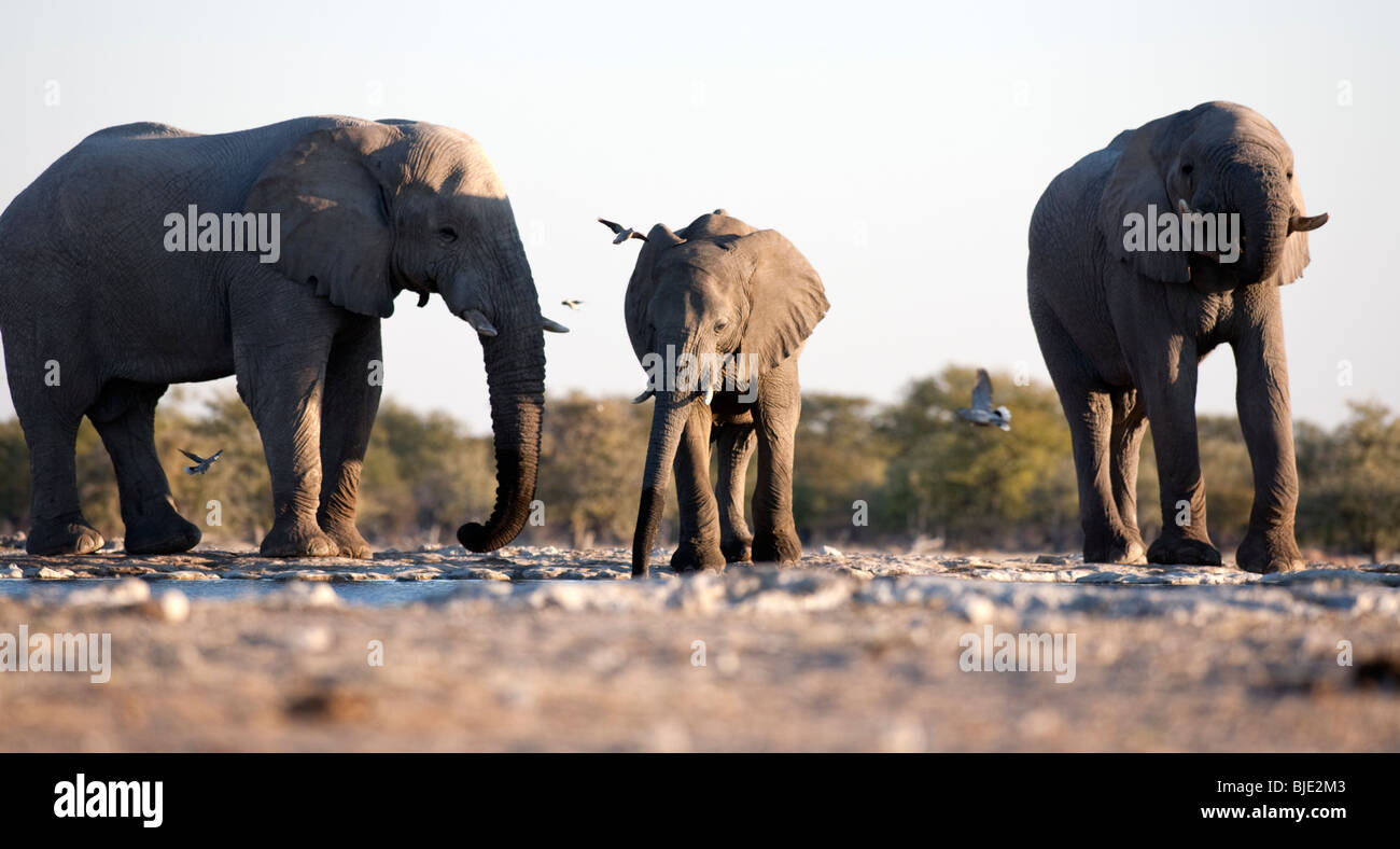 The biggest elephants I have seen were in Namibia, Africa, congregating around a waterhole and seeming very happy - Stock Image