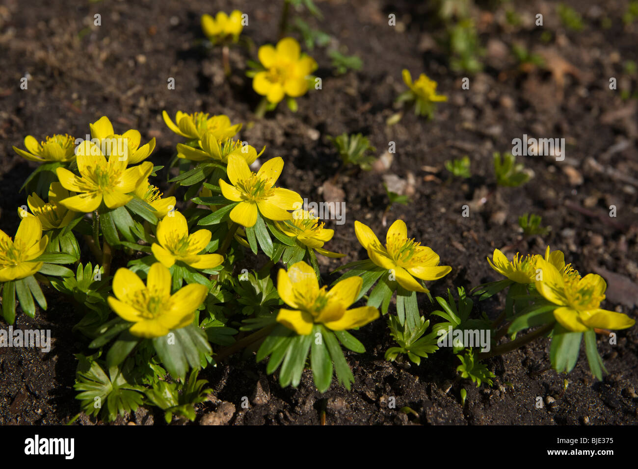 Blooming Yellow Winter Aconite Eranthis Hyemalis Flowers In Early