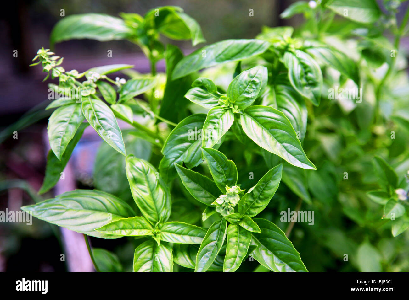 Fresh basil grown organically in a home garden, early season, in flowering, bloom, purple flower stems, small, young - Stock Image