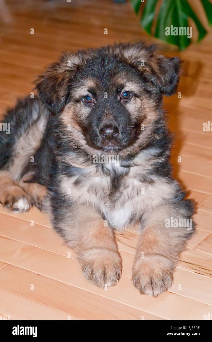 German Shepherd Puppy Eight 8 Weeks Old Laying Hardwood Floor Stock Photo Alamy