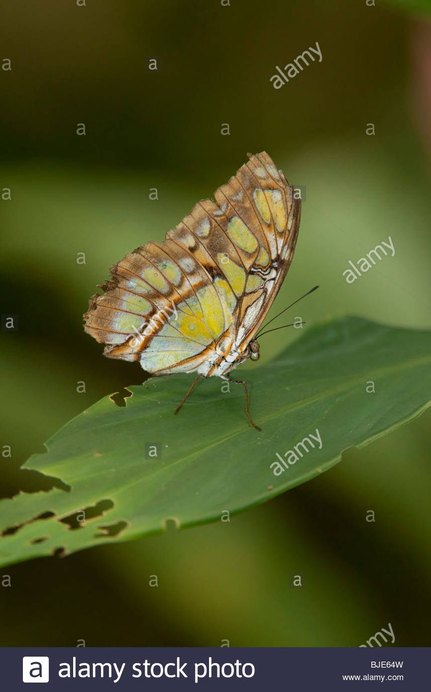 Malachite Butterfly, Arenal, Costa Rica - Stock Image