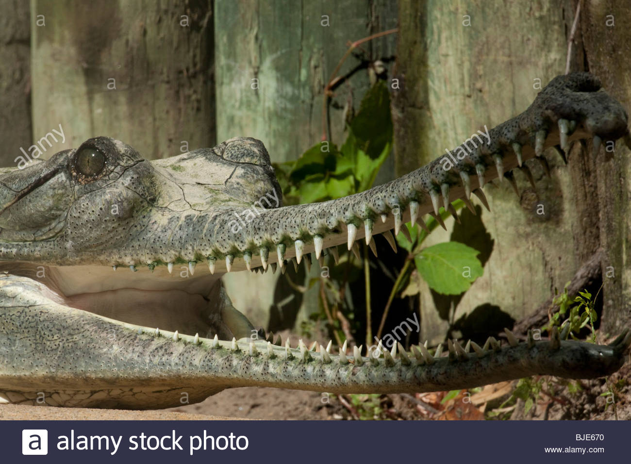 Indian Gharial - Stock Image