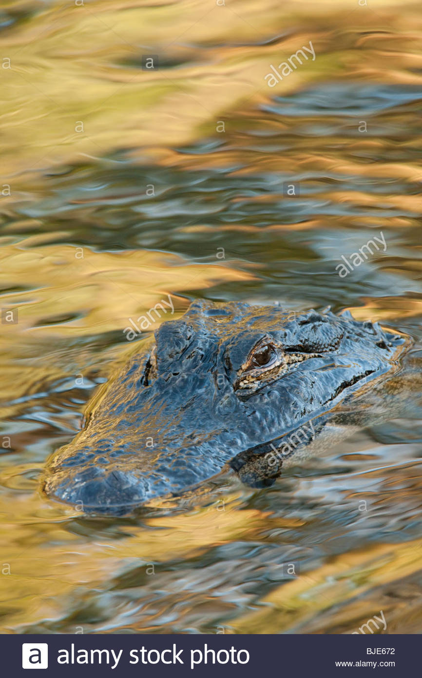 American Alligator, Florida - Stock Image