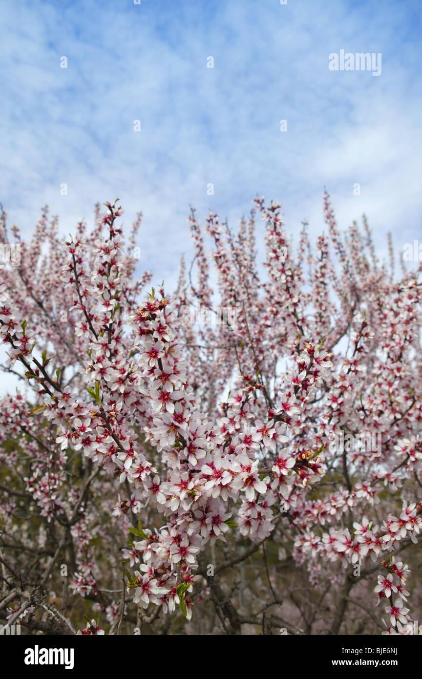 Almond flower trees field in spring season pink white flowers stock almond flower trees field in spring season pink white flowers mightylinksfo Images