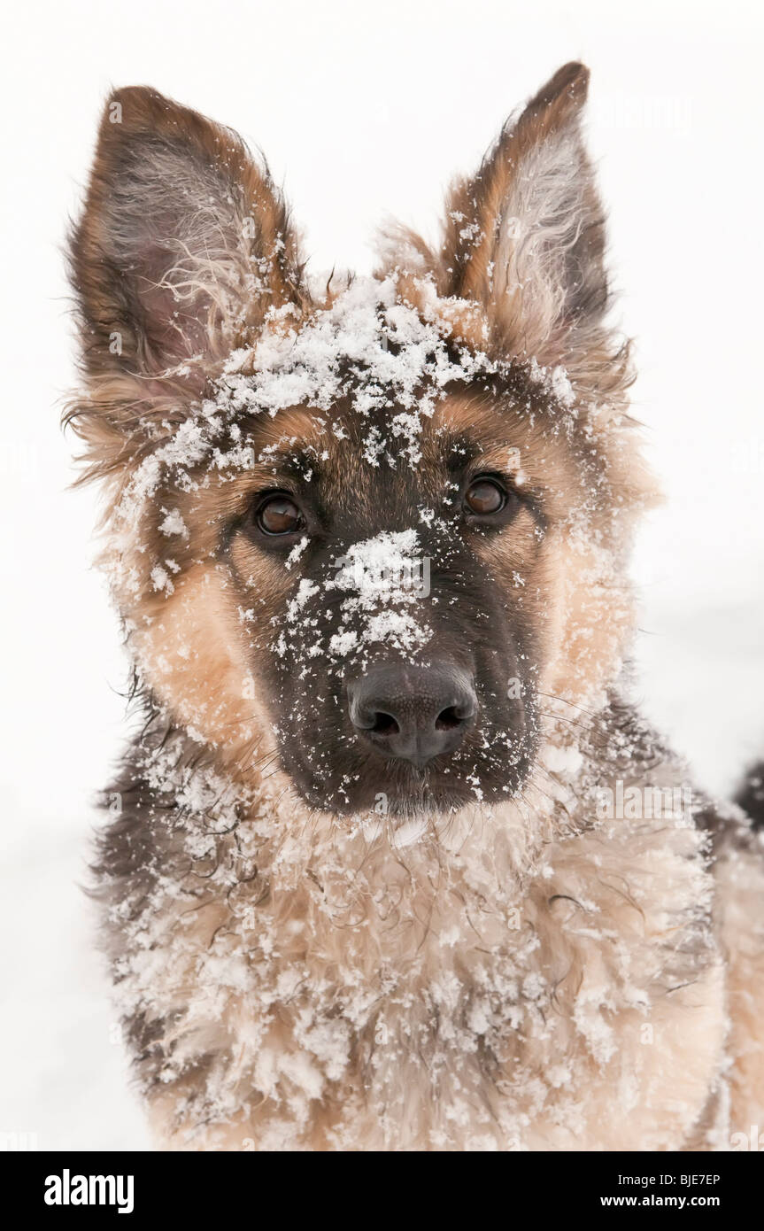 German shepherd, Canis lupus familiaris, long-haired puppy, 14 weeks, in snow, - Stock Image