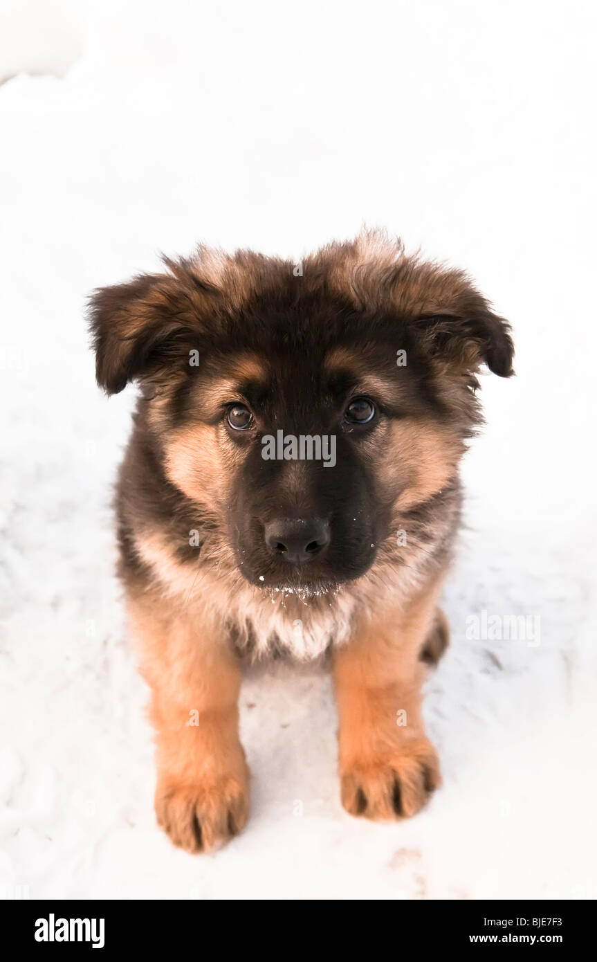 German shepherd, Canis lupus familiaris, long-haired puppy, 10 weeks, sitting in snow - Stock Image