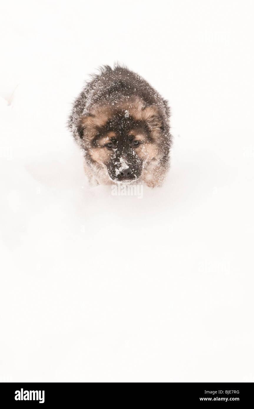 German shepherd puppy, nine (9) weeks old running in snow - Stock Image