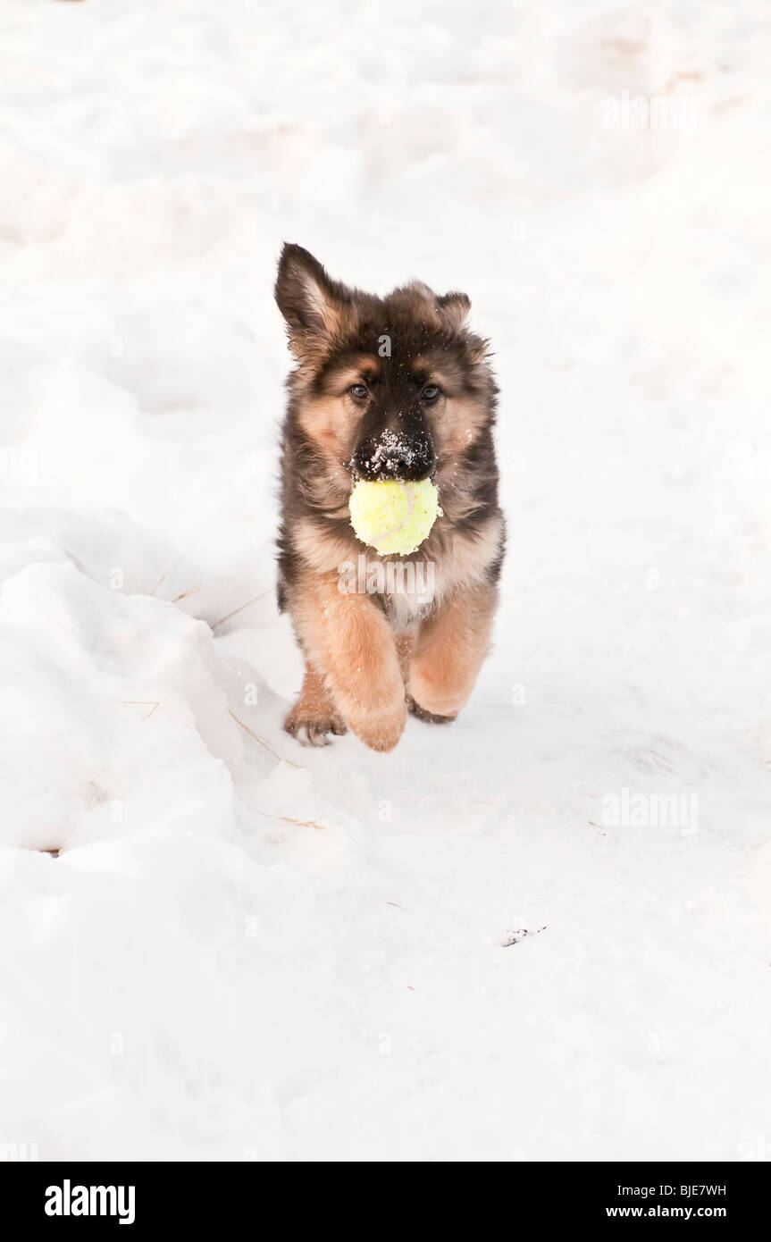 German shepherd, Canis lupus familiaris, long-haired puppy, 10 weeks, running in snow, with tennis ball - Stock Image