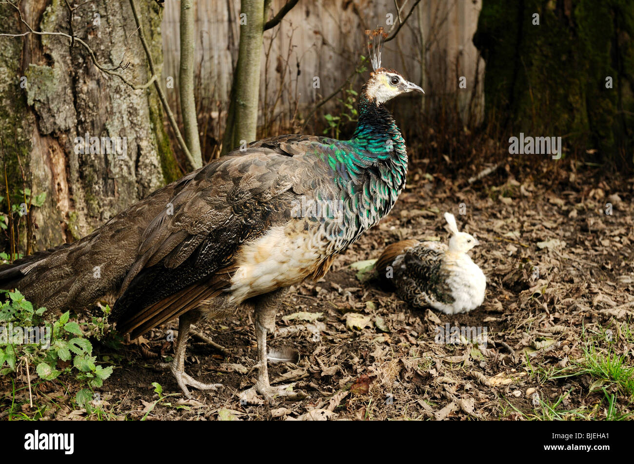 Two Indian Peafowls (Pavo cristatus), mother and peachick, high angle view Stock Photo