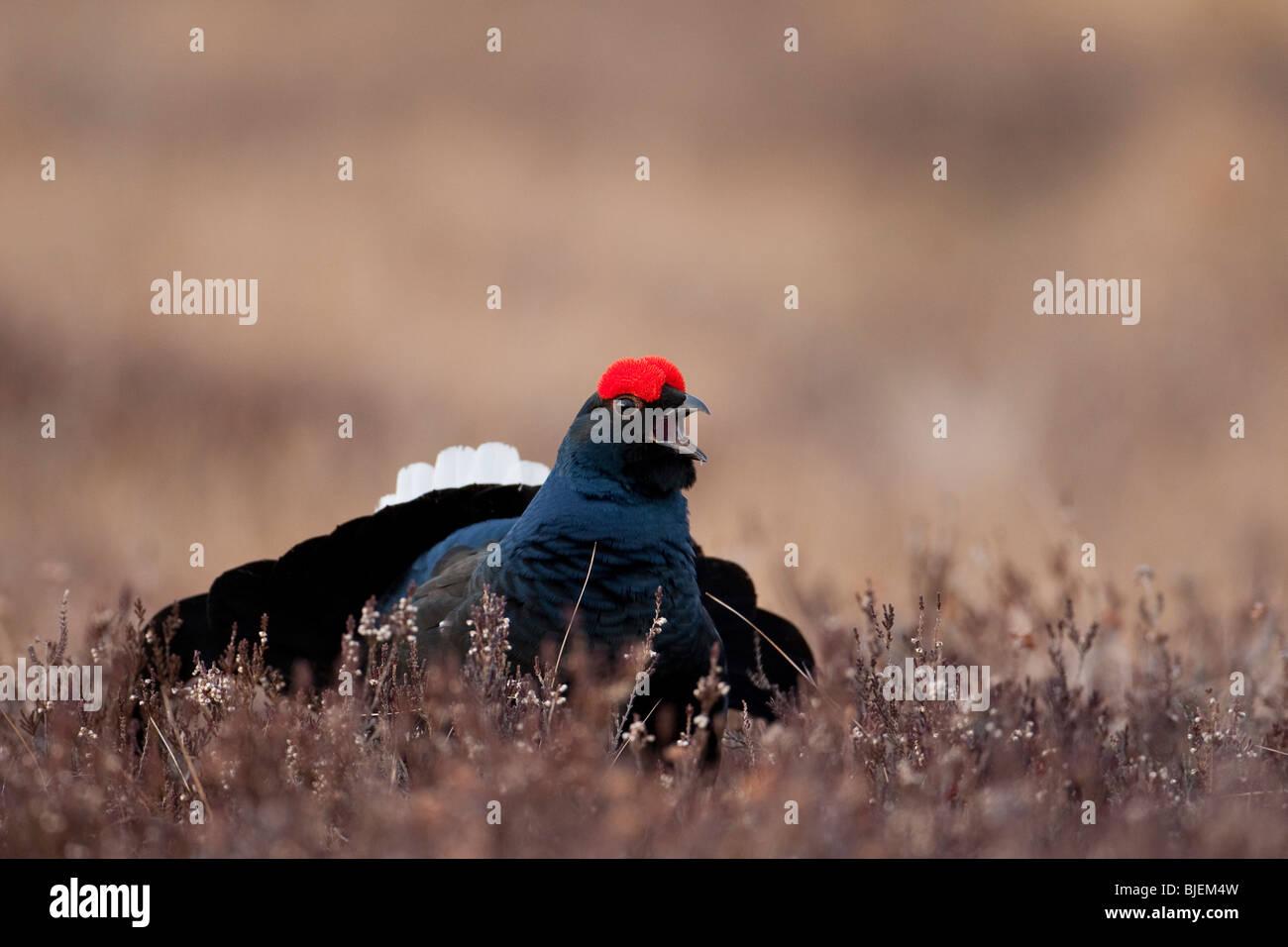 Black grouse (Lyrurus tetrix) in meadow, South Sweden - Stock Image