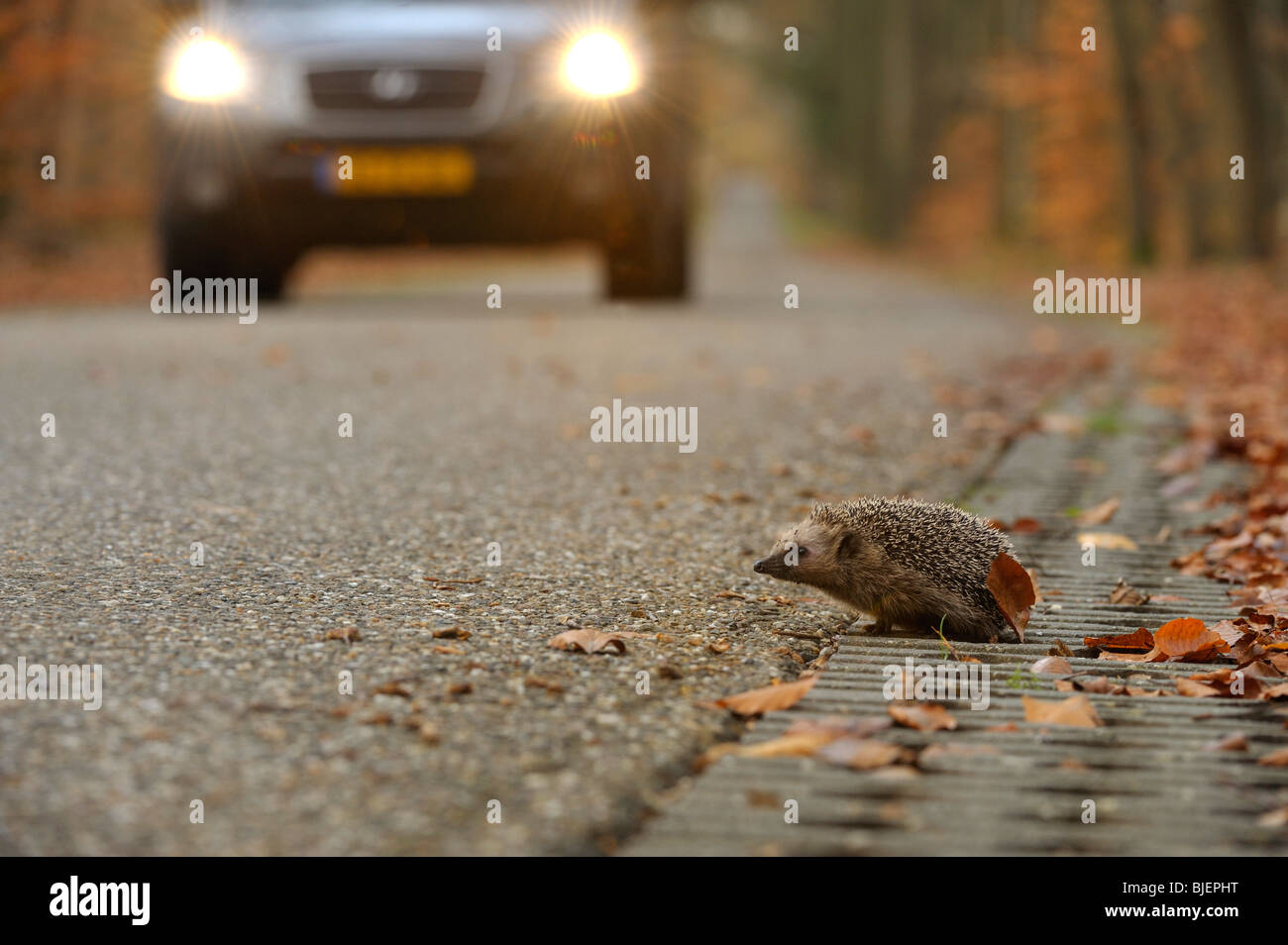 Hedgehog (Erinaceus europaeus) crossing the road with oncoming car, Netherlands. - Stock Image
