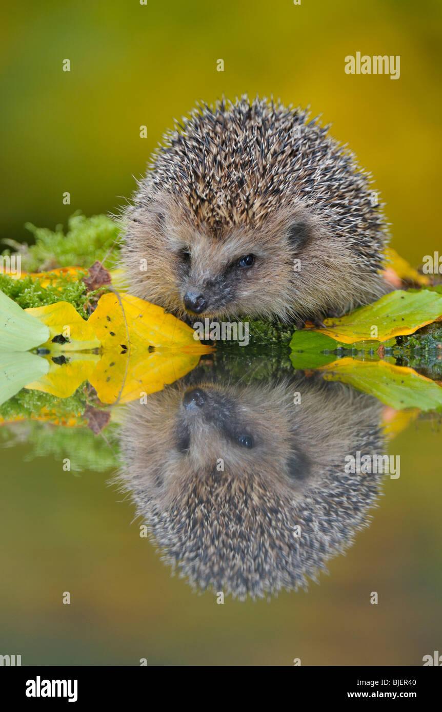 Hedgehog (Erinaceus europaeus) foraging near garden pond, Netherlands. - Stock Image