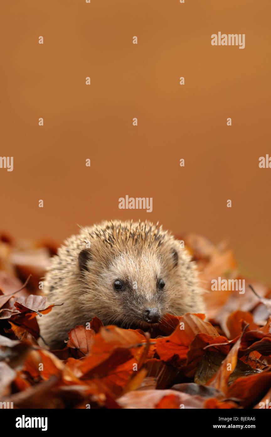 Hedgehog (Erinaceus europaeus) foraging amongst autumn leaves at dusk, Netherlands. - Stock Image