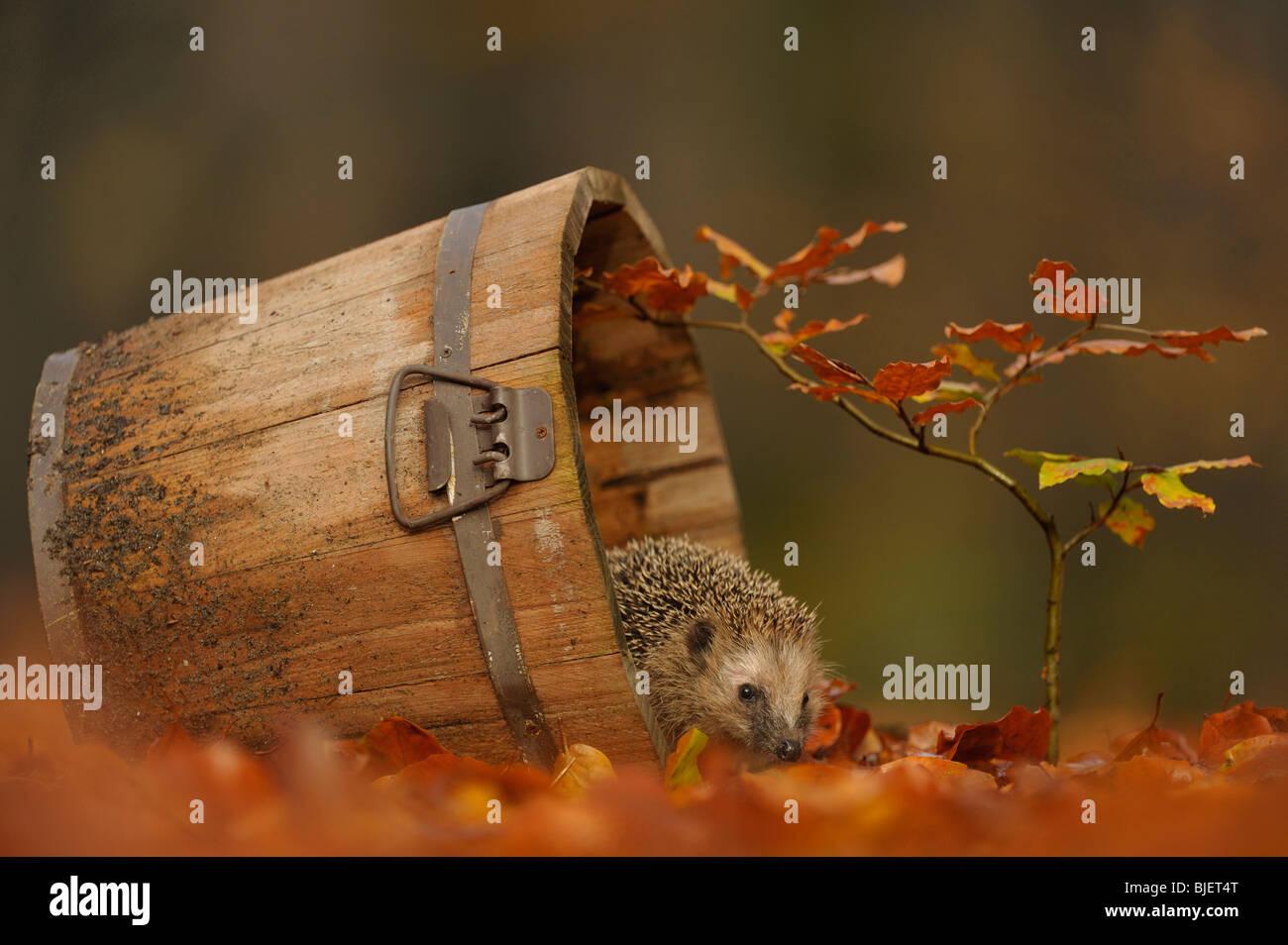 Hedgehog (Erinaceus europaeus) in a garden foraging in Beech leaves, Netherlands. - Stock Image