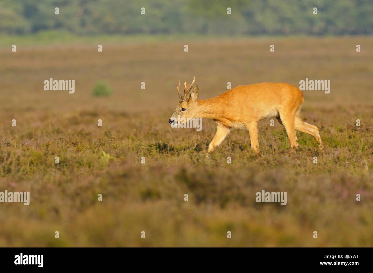 European Roe Deer (Capreolus capreolus), buck searching for doe in rut, Netherlands. - Stock Image