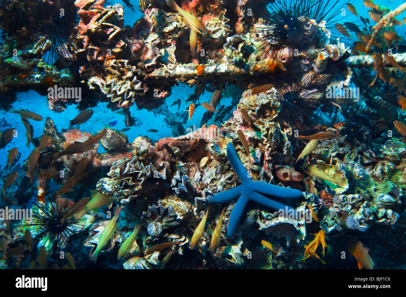 Malapascua manifold versatile multiplex life on artificial built reef fish starfish sea urchin under water underwater - Stock Image