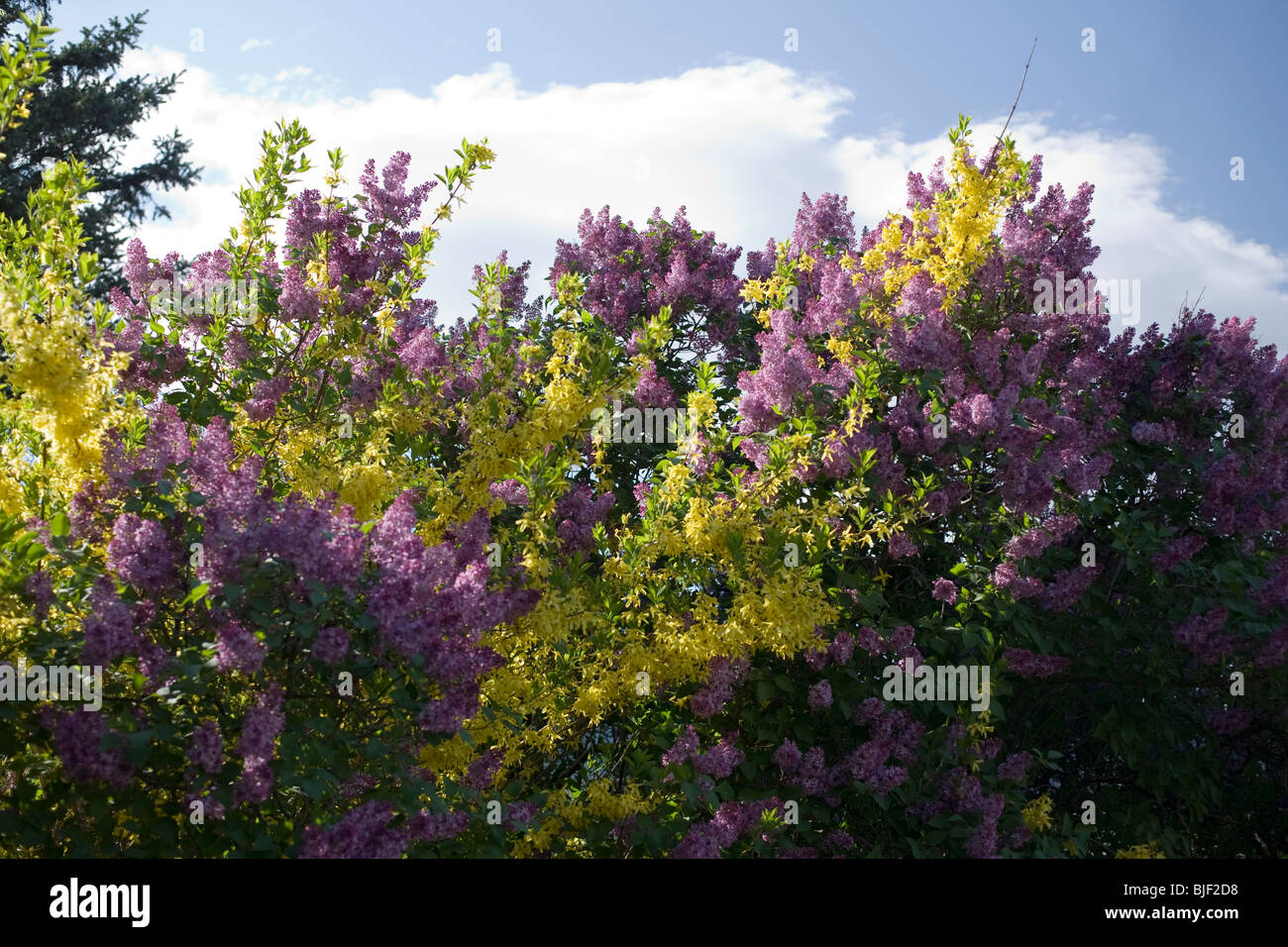 Shrubs Bloom On A Spring Day In New England Stock Photo 28605396
