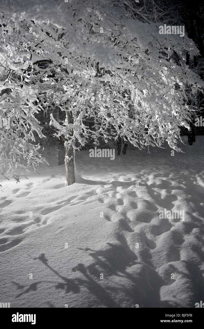 Tree With Snow Clinging To Branches While Snowing In Blizzard At Night,  Pennsylvania, USA - Stock Image