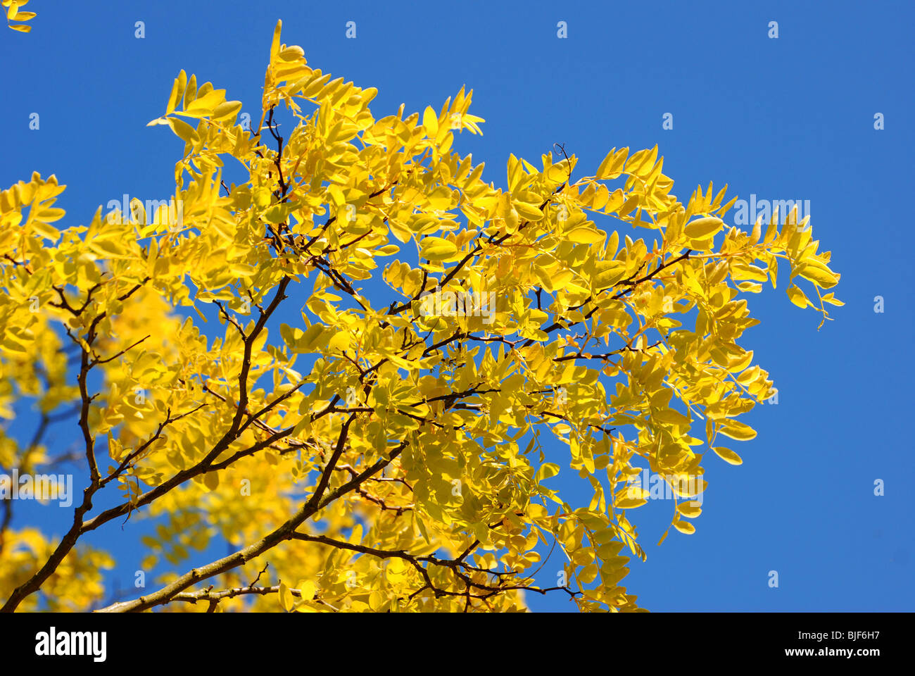 Blue sky and yellow leaves on a tree in springtime in the UK. Horizontal landscape - Stock Image