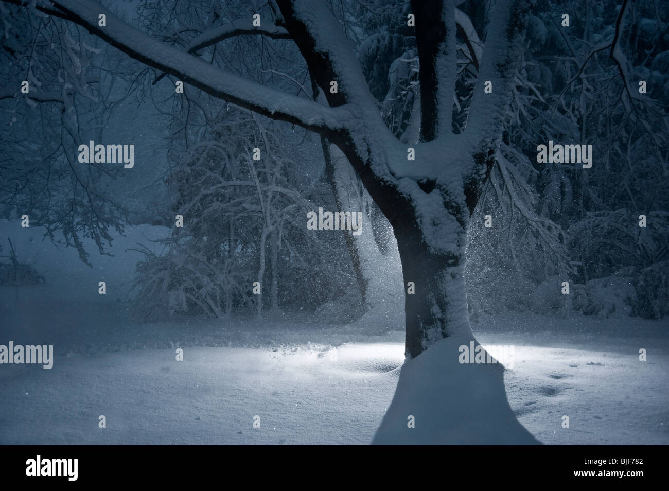 Tree In Winter Snow Storm With Snow Falling At Night, Pennsylvania, USA - Stock Image
